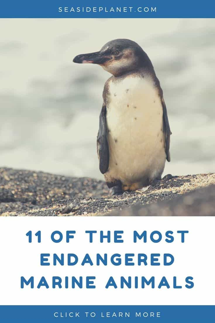 11 of the Most Endangered Marine Animals