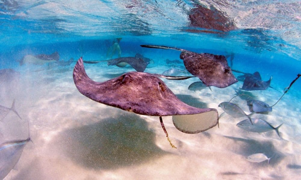 stingrays off of grand cayma