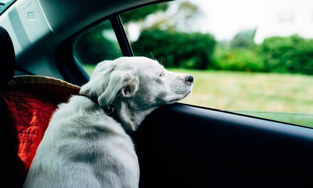 dog looking out a car window