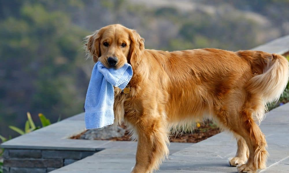 dog with a towel